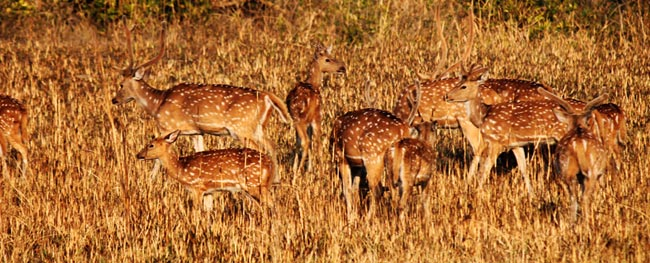 Group of Spotted Deers in Corbett National Park