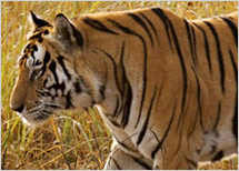Panna National Park Tour Package